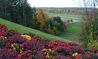 view looking down from the top of a hill will colorful mums and grassy slope